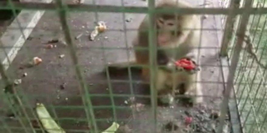 Maltepe'de bir Oto galerideki maymunlar polis operasyonuyla kurtarıldı