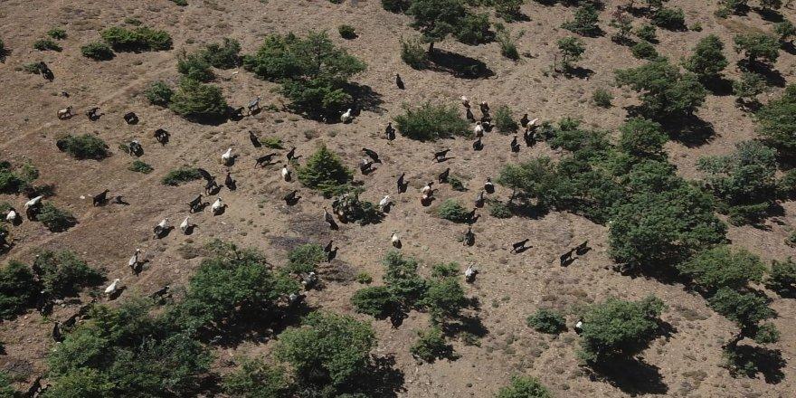 Isparta'da Jandarma sahibinin uyuyup kaybettiği 93 keçiyi drone ile buldu