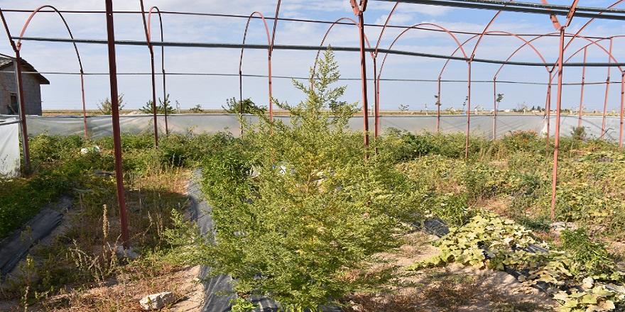 Virüse karşı koruyucu peygamber süpürgesi bitkisi Aksaray'da yetiştirildi