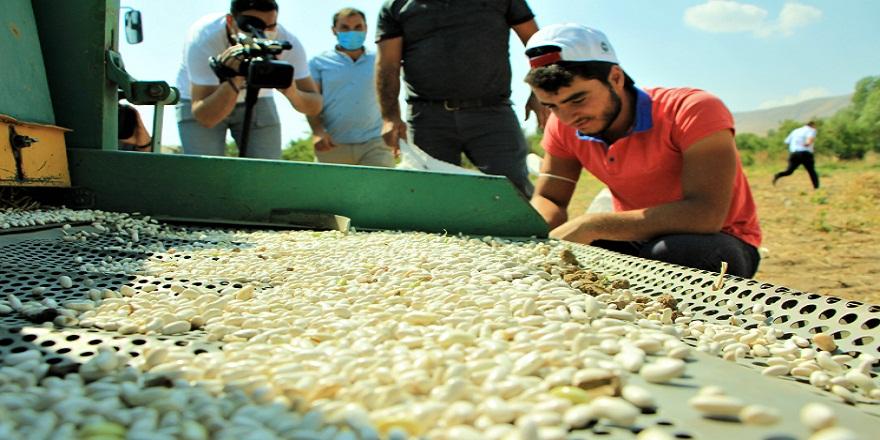 Elazığ'da pek çok ailenin geçim kaynağı olan organik fasulye hasadı başladı