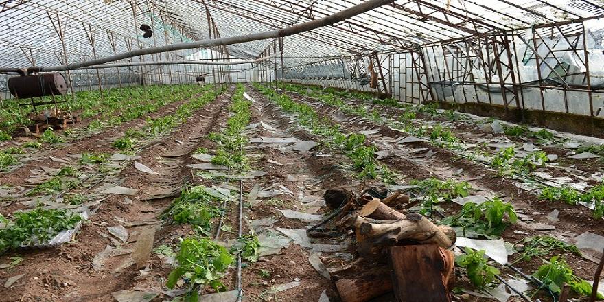 Antalya Kumluca'da, etkili olan fırtına, naranciye seralarını kırdı geçirdi