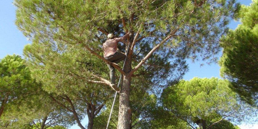 Güvenlik önlemi almadan metrelerce yükseklikteki ağaçlardan kozalak toplayıp, kilosunu 300 TL'den satıyorlar