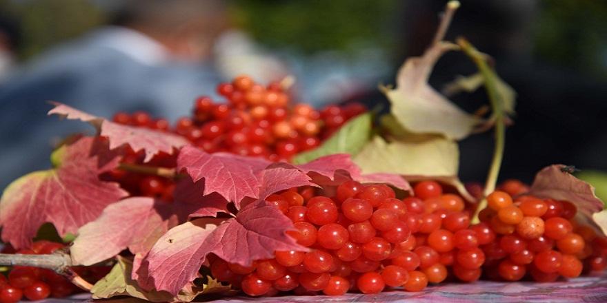 Tam bir böbrek dostu olan Gilaburu meyvesinin hasadına Kayseri'de başlandı