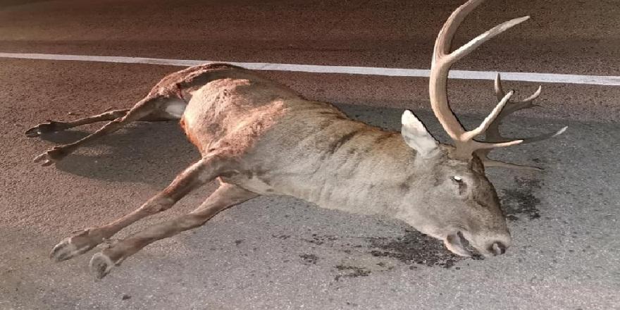Kütahya'da tırın kasasına çarpan geyik telef oldu