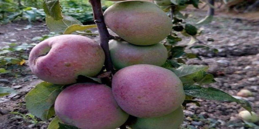 Emet ilçesinde 150 yıllık olan elma ağaçları, koruma altına alınıyor