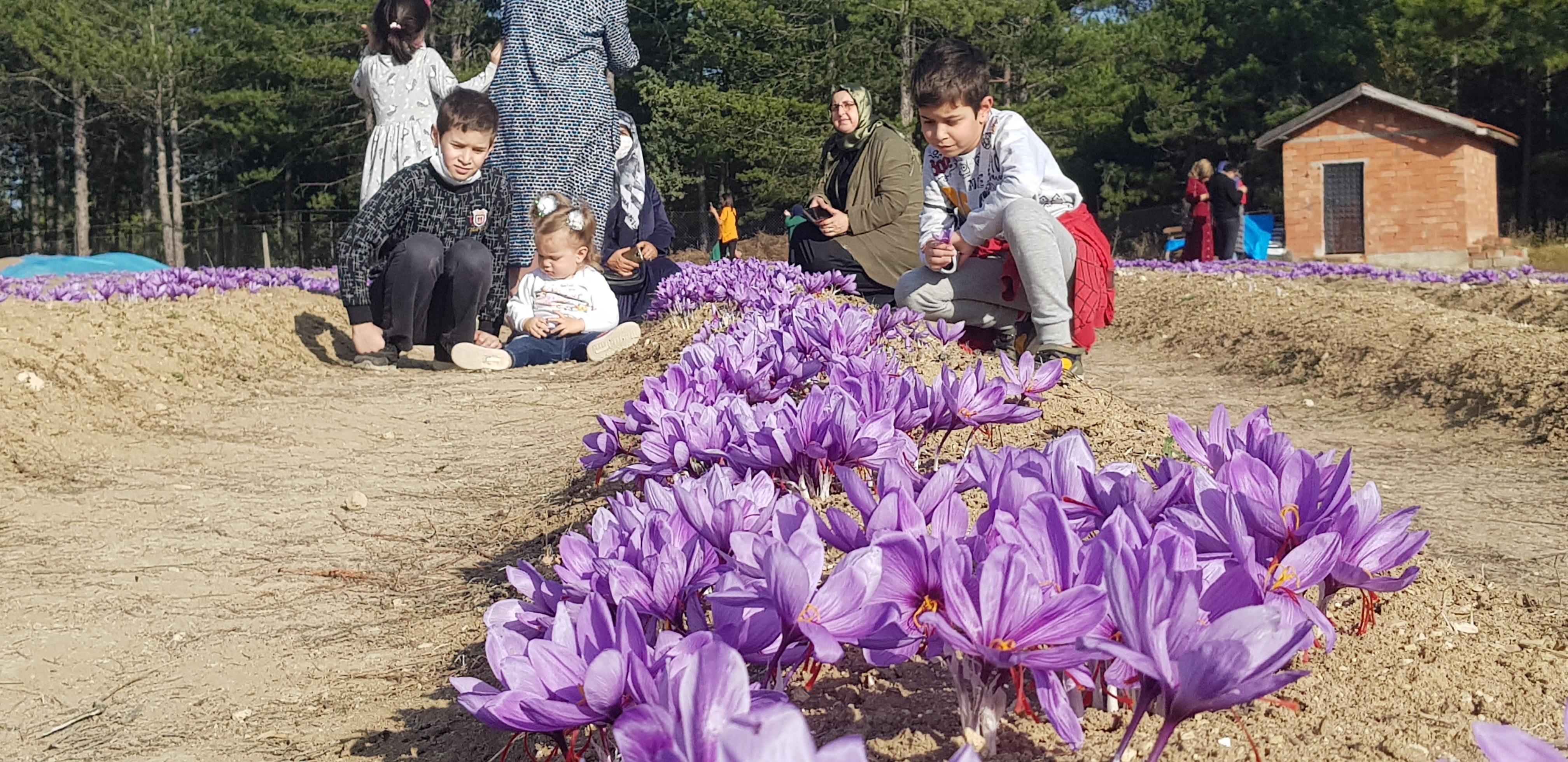 Karabük'ün Safranbolu ilçesiyle özdeşleşen safran bitkisi tarlaları, ziyaretçilerin akınına uğradı