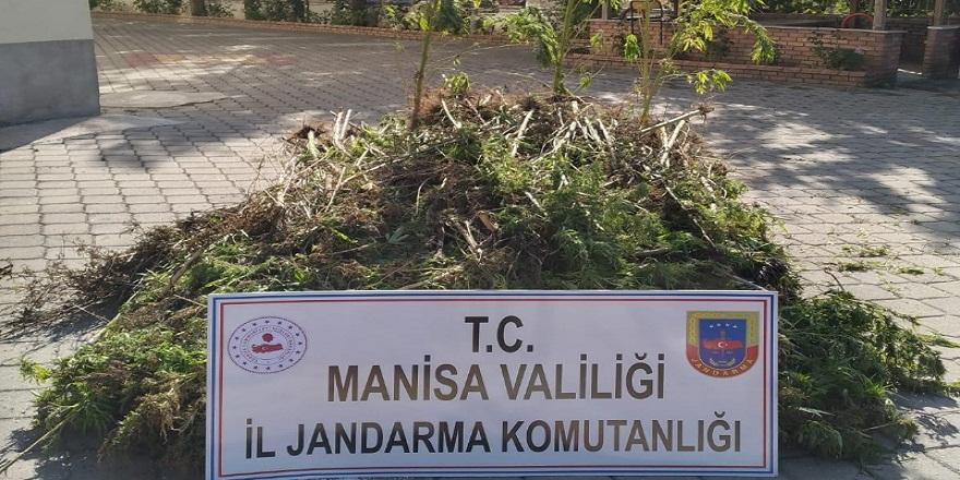 Manisa'da, jandarma ekipleri 721 kök kenevir ele geçirdi