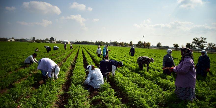 Azerbaycanda, geçim için bir yandan havuç hasadı, diğer bir yandan savaş!