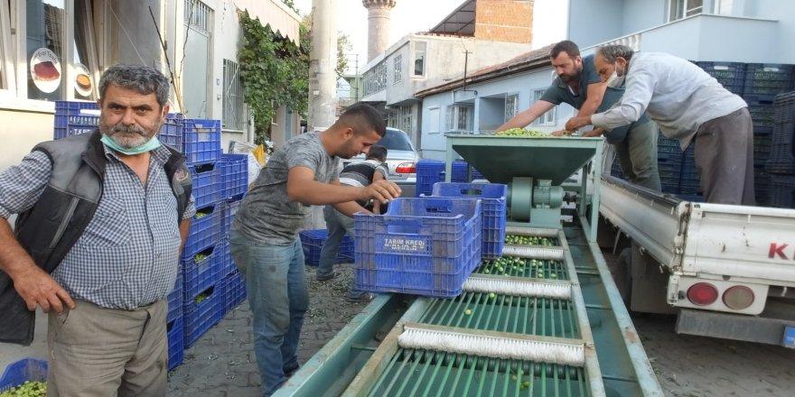 Tarım Kredi Kooperatifi, zeytin alımına başladı