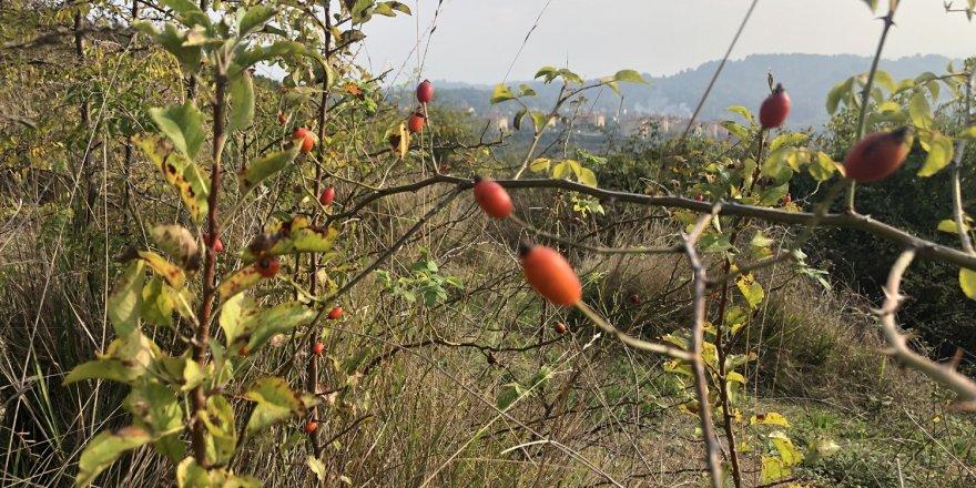 """Korona virüsten korunmak için vatandaşlar doğal ürünlere yöneldi Korona'ya karşı kuşburnu """"Dağlarda yetişiyor, faydası saymakla bitmiyor"""""""