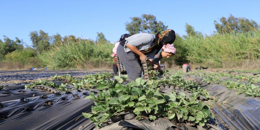 Antalya'da 2020 yılında, 50 bin 862 ton çilek üretimi gerçekleştirildi