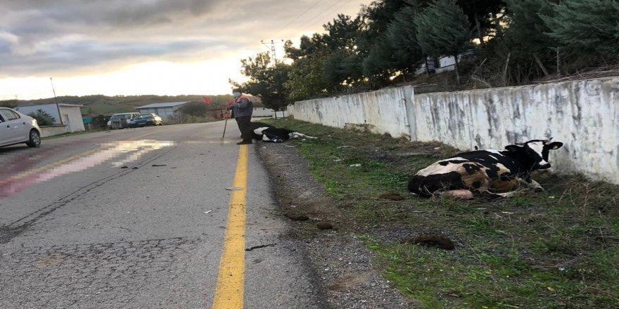 Tekirdağ Malkara'da araç inek sürüsüne daldı: 1 yaralı